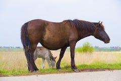 Cavalos de Przewalski com potro Foto de Stock Royalty Free