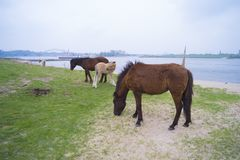 Cavalos de Przewalski em um parque natural Fotos de Stock