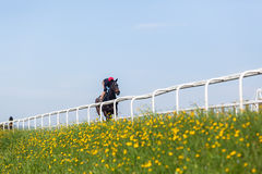 Cavalos de raça que treinam a paisagem Fotos de Stock Royalty Free