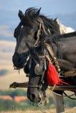 Cavalos de Zlatibor imagem de stock