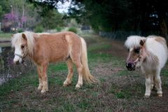 Cavalos diminutos Fotografia de Stock Royalty Free