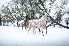 Cavalos do Appaloosa que correm o galope na floresta do inverno Fotos de Stock Royalty Free