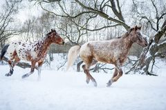 Cavalos do Appaloosa que correm o galope na floresta do inverno Imagem de Stock