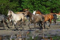 Cavalos do arabian do galope Fotografia de Stock Royalty Free
