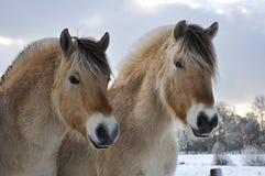 Cavalos do Fjord Fotografia de Stock