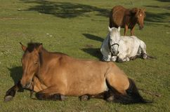 Cavalos do Mongolian Imagem de Stock Royalty Free