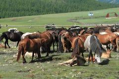 Cavalos do Mongolian Imagem de Stock
