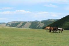 Cavalos do Mongolian Foto de Stock Royalty Free