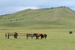 Cavalos do Mongolian Imagens de Stock