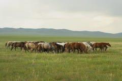 Cavalos do Mongolian fotografia de stock