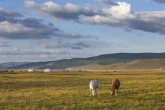 Cavalos do Mongolian em uma paisagem de mongolia do norte Imagens de Stock