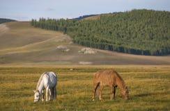 Cavalos do Mongolian em uma paisagem de mongolia do norte Imagem de Stock