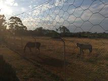 Cavalos do por do sol fotos de stock