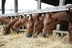 Cavalos do puro-sangue com suas cabeças que comem para baixo o feno Imagem de Stock Royalty Free