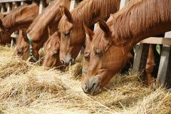 Cavalos do puro-sangue no prado que comem a grama seca Fotografia de Stock
