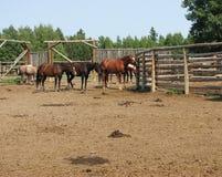 Cavalos do rancho Fotos de Stock