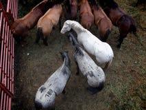 Cavalos do rodeio na cerca Fotografia de Stock