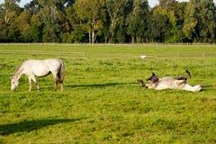 Cavalos do rolamento Fotografia de Stock