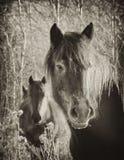 Cavalos do vintage Fotografia de Stock Royalty Free