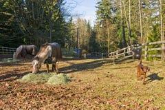 Cavalos e cão na cerca Fotos de Stock Royalty Free