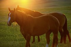 Cavalos e por do sol Foto de Stock Royalty Free