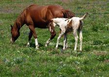 Cavalos e prado do Wildflower Foto de Stock Royalty Free
