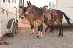 Cavalos e reboque Imagens de Stock Royalty Free