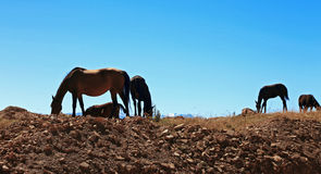 Cavalos em Autumn Caucasus Meadow Foto de Stock
