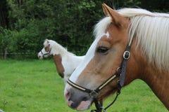 Cavalos em Dinamarca Fotografia de Stock Royalty Free