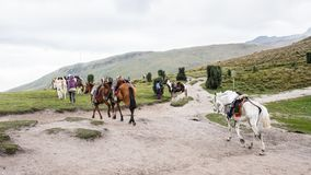 Cavalos em Equador Imagens de Stock Royalty Free