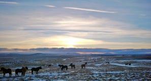 Cavalos em Islândia Fotos de Stock