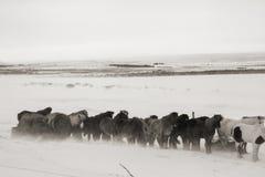 Cavalos em Islândia, na neve fria e no vento Fotos de Stock Royalty Free