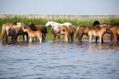 Cavalos em molhar fotos de stock royalty free