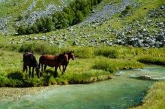 Cavalos em molhar Fotos de Stock