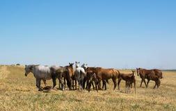 Cavalos em um campo Foto de Stock Royalty Free