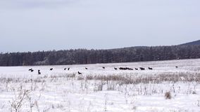 Cavalos em um campo nevado video estoque