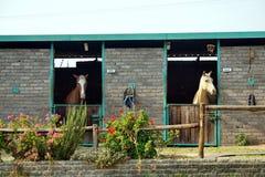 Cavalos em um estábulo em Joanesburgo foto de stock