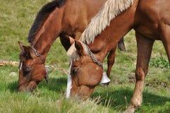 Cavalos em um pasto. Fotos de Stock Royalty Free