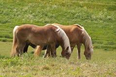 Cavalos em um pasto Fotografia de Stock Royalty Free