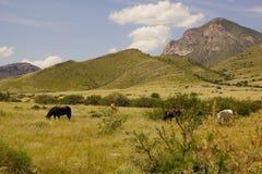 Cavalos em um pasto Imagem de Stock