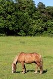 Cavalos em um pasto Fotos de Stock Royalty Free