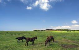Cavalos em um pasto, console grande, Havaí Fotografia de Stock Royalty Free