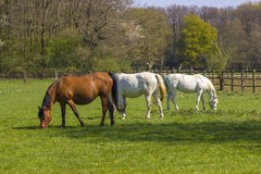 Cavalos em um pasto da mola Foto de Stock