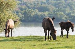 Cavalos em um pasto do verão Imagem de Stock Royalty Free