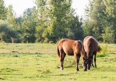 Cavalos em um pasto do verão Foto de Stock Royalty Free
