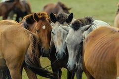 Cavalos em um pasto do verão em Mongólia Fotografia de Stock Royalty Free