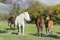 cavalos em um pasto na montanha Fotos de Stock Royalty Free