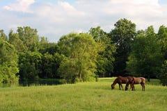 Cavalos em um prado Imagens de Stock Royalty Free