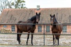 Cavalos em um prado em uma exploração agrícola no Polônia oriental Imagem de Stock Royalty Free