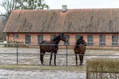 Cavalos em um prado em uma exploração agrícola no Polônia oriental Fotografia de Stock Royalty Free